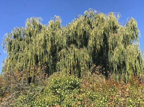 My Neighbor's Willow Tree