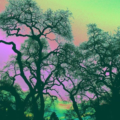 San Lorenzo High Psychedelic Oak Trees